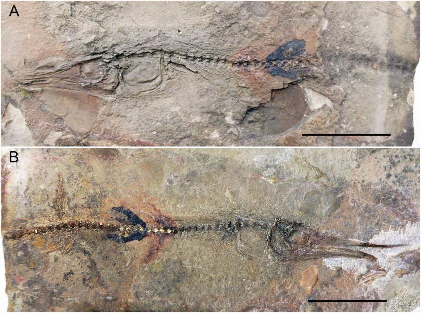 skamieniałość Candelarhynchus padillai